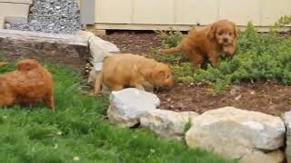 Download Cavapoo Puppies For Sale Levi Jr and Priscilla Stoltzfus Video