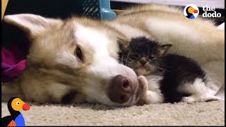Download Husky Dog Adopts Stray Cat Saving Her Life | The Dodo: Comeback Kids S01E02 Video
