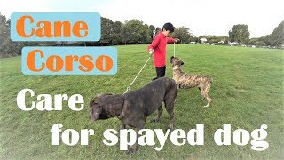 Download Sensitive Dog CANE CORSO 'VINCI' Care for his Dog mate after Surgery Video