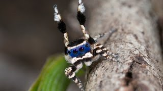Download Peacock Spider 13 (Maratus personatus) Video