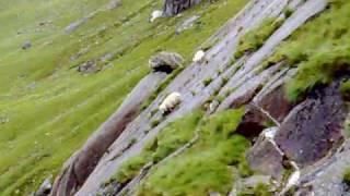 Download Sheep falling Video