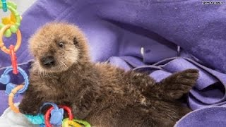 Download You 'otter' watch this baby sea pup! Video