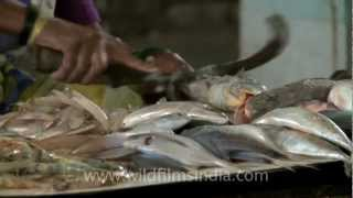 Download Prawns and fish being prepared for sale, Mumbai, India Video
