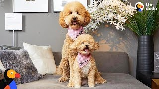 Download Tiny Rescue Dog Has Supersized Twin | The Dodo Video