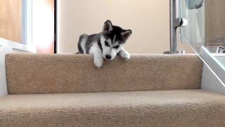 Download Husky Puppy Trying To Walk Down Stairs Video