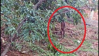 Download Animal misterioso aparece na mata no interior de MG causando curiosidades Video