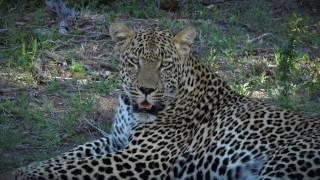 Download Leopard kill caught on camera - #safariLIVE Video