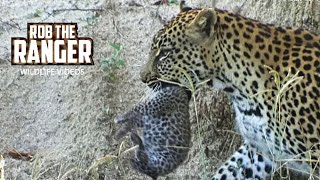 Download Adorable New Baby Leopard Cubs #youtubeZA Video