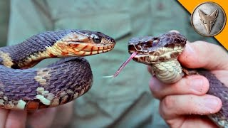 Download Cottonmouth vs Water Snake! Video