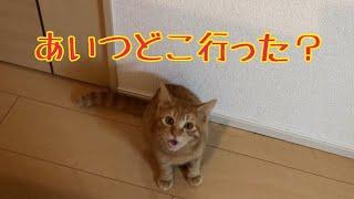 Download 【猫 鳴き声】お風呂に行った飼い主を呼び続けるかわいい子猫Cat to call the owner Video