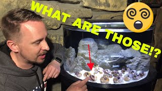 Download HOW TO keep African Cichlids - Shell Dwellers! Video