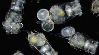 Download How to: Culture Rotifers Video