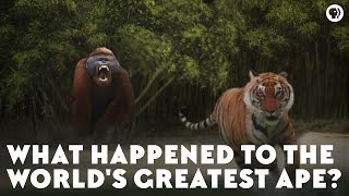 Download What Happened to the World's Greatest Ape? Video