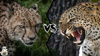 Download CHEETAH VS LEOPARD - Who Would Win? Video