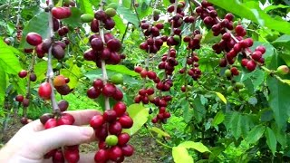 Download Make a Cup of Coffee Starting From Scratch | Coffea arabica | Video Video
