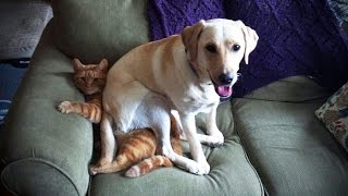 Download LABRADORS ARE AWESOME ★ Funny Labradors COMPILATION [Funny Pets] Video