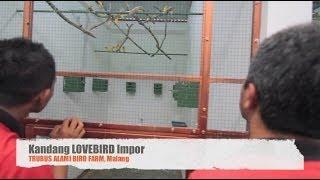 Download Ternak Lovebird Impor Sistem Koloni (Lovebird Breeding) Video