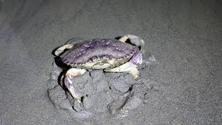 Download Catching Crabs at Night on the Beach! Video