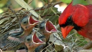 Download HD Northern cardinals feeding baby birds FYV 1080 HD Video