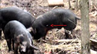 Download Airgun Pig Hunting 02 - Ranger .45 Video