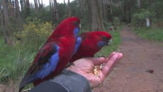 Download Parrots in Australia Video