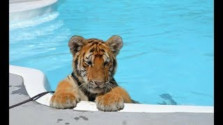 Download CUTEST Baby Tiger Videos That You Have To See - Cute Baby Animals Video