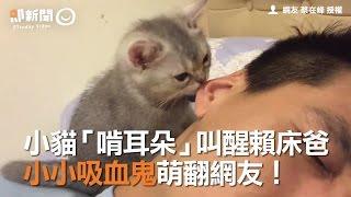 Download 小貓「啃耳朵」叫醒賴床爸 小小吸血鬼萌翻網友! Video
