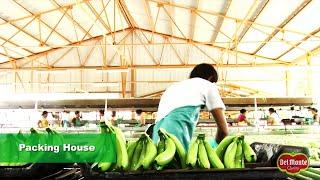Download Del Monte® Banana Production Video