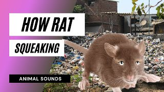 Download The Animal Sounds: Rat Squeaking - Sound Effect - Animation Video