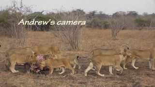 Download Cubs killed by dominant lioness Video