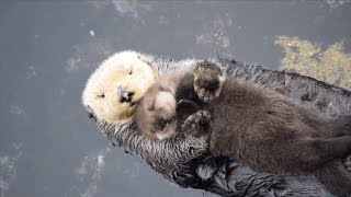 Download Newborn Sea Otter Pup Snuggles Up With Mom While Floating Video