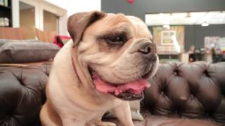 Download English Bulldog 101: Is a Bulldog Right For You? Video