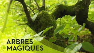 Download Les pouvoirs cachés des arbres Video