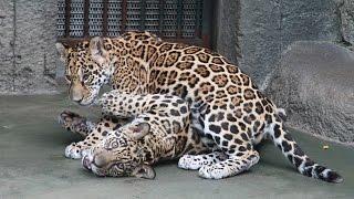Download ジャガーの子ども2頭の展示再開 天王寺動物園 Video