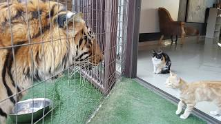 Download Mother cat looking out for kittens safety by the tigers Video
