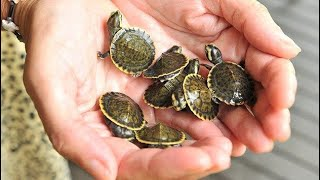 Download My TURTLES Had Another EGG But.... Video