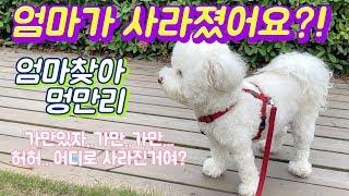 Download 산책중에 갑자기 엄마가 사라진다면...? 귀여운 비숑 강아지 반응 / 강아지 숨바꼭질 Video