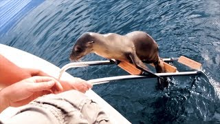Download Injured sea lion pup desperate for help jumps onto boat in California Video