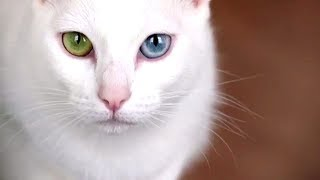 Download Most EXPENSIVE Cat Breeds Video