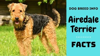 Download Airedale terrier dog breed. All breed characteristics and facts about Airedale terrier Video