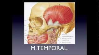 Download Músculos de la masticación Video