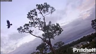 Download SWFL Eagles ~ Young Juvie Visitor Flies By Nest Tree ~ Might Be E9 w/ SLO MO 11.12.17 Video