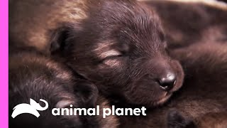 Download Keeshonds Embrace Their Farm Life Friends | Too Cute! Video
