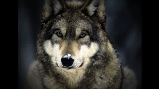 Download 13 Wolf Facts Video