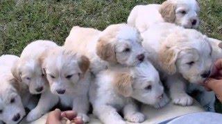 Download As 11 Raças de cães portugueses Video