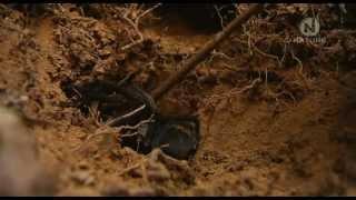 Download Tarantula - Pavúk všetkých pavúkov Austrálie Video