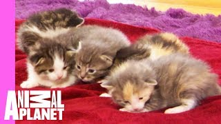 Download Five Orphaned Kittens Arrive At Their New Foster Home | Too Cute! Video