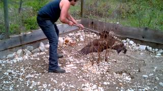 Download Eagle trapped in chicken coop run!!!!! Video