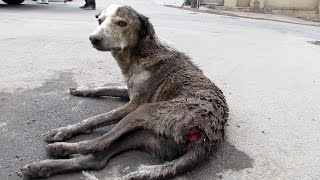Download Rescue of an old street dog injured and unable to stand Video