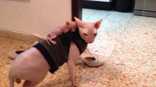 Download Amazing! sphynx cats Video